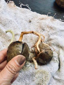 Avocadobäumchen einfach selbst ziehen